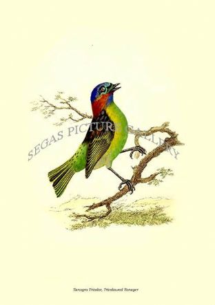 Tanagra Tricolor, Tricoloured Tanager